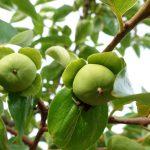 鐡ノ家の周りの果物
